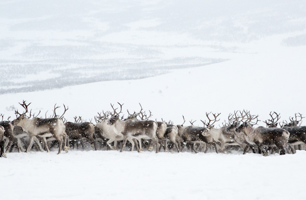Migration One of the worlds wonders is the migration of reindeer Watch the awesome videos below of the migration of thousands of these animals as they relentlessly move ever forwards crossing lakes traversing mountains with inexorable determination it is a spectacular sight